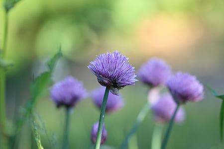 szczypiorek, zioło, roślina, kwiat, fioletowy, Natura, Latem
