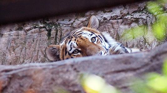 tiger, cat, tiergarten