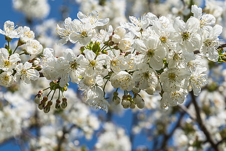 cherry blossoms, white, white blossom, tree, cherry, bloom, spring