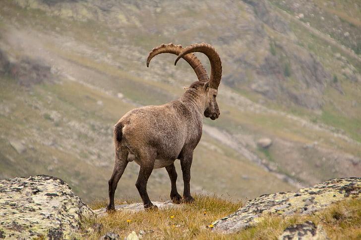 capricorn, alpine, wild animal, wildlife photography, animal shots, one animal, animal wildlife