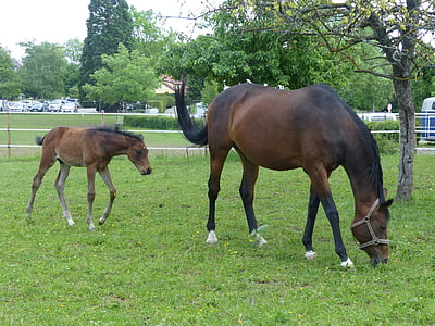 horse, foal, pasture, animal, young animal, meadow, grass