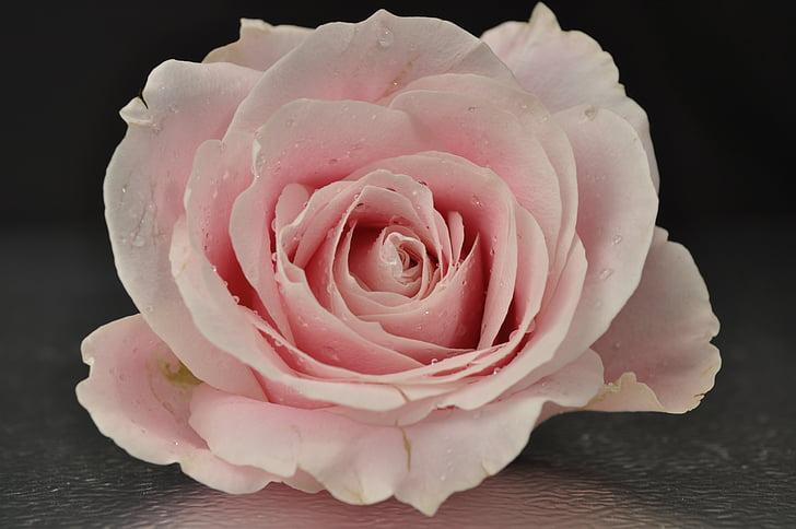 Rosa, Rosa, flor, flor rosa, rosa Rosa