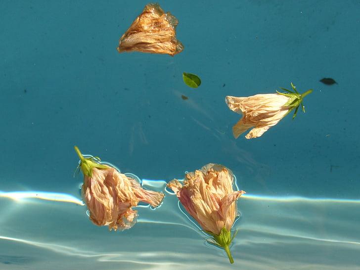 eau, fleur, bleu, Hibiscus, flotteur, Ripple, piscine