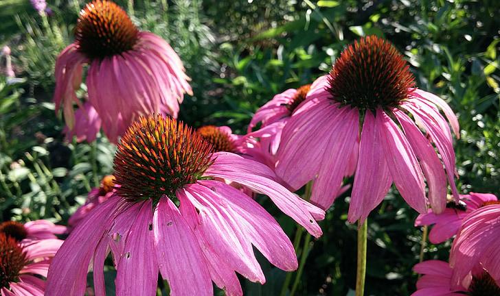 échinacée, Echinacea, fleur, cône, Echinacea purpurea, purpurea, Purple