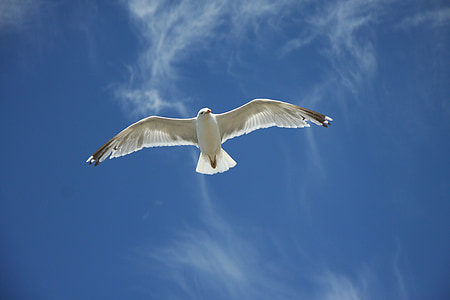Gavina, cel, blau, volar, ala, ocell, núvols