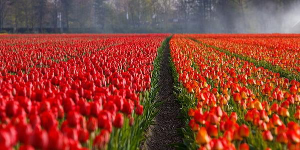 tulbid, Tulip, väli, väljad, oranž, punane, taust