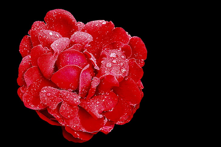 rose, red rose, blossom, bloom, garden rose, drop of water, retro