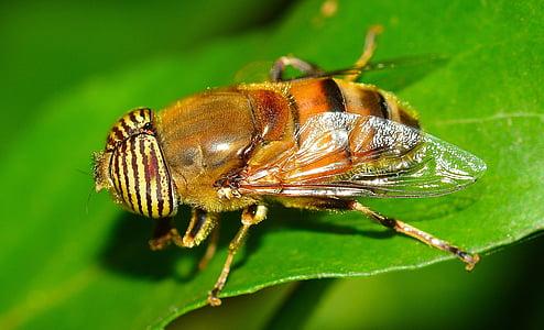 insectes, dípters, eristalinus, insecte, natura, close-up, macro