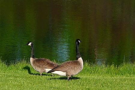 Канада гъски, гъска, канадски, водните птици, птица, фауна, орнитофауната