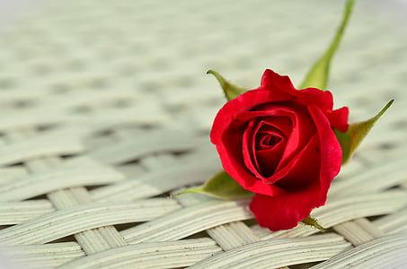 Rosa, rosa vermella, romàntic, flor rosa, bellesa, blanc, tancar