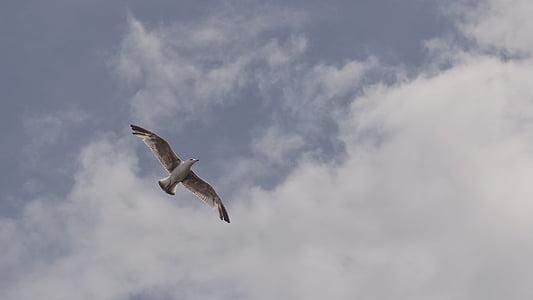 eläinten, lintu, lento, Flying, lokki, lokki, taivas