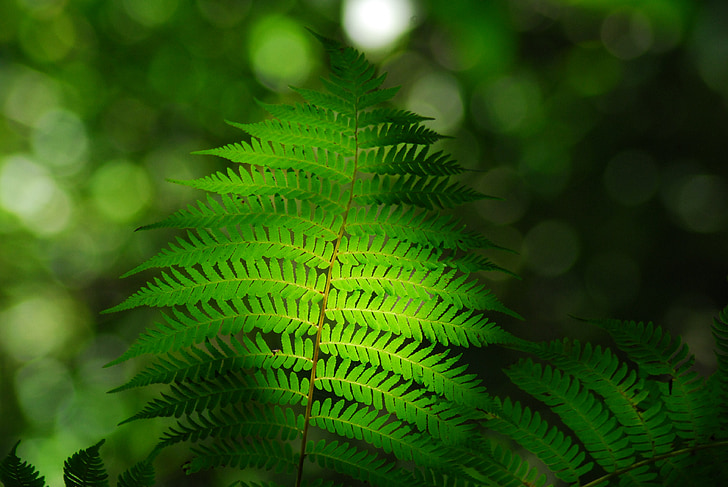 lehed, roheline, taim, rohelised lehed, loodus, metsa