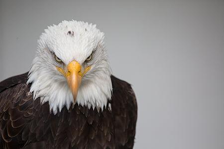 Eagle, loodus, lind, looduslike, Predator, Bald eagle, Eagle - lind
