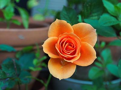 Rosa, Huang, planta, natura, Rosa - flor, pètal, close-up