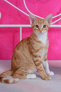 cat, pet, tiger, red cat, mackerel, young cat, domestic cat