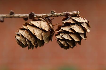 tap, pine cones, conifer, wood, nature, fir, brown