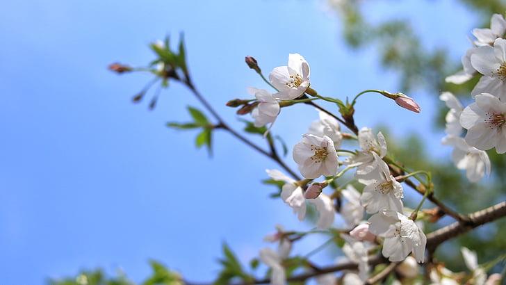 flor del cirerer, primavera, concepció artística