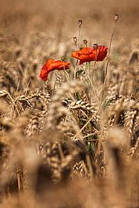 poppy, klatschmohn, cornfield, summer, sun, cereals, poppy flower