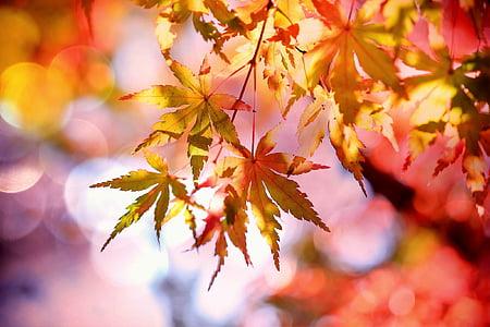 érable, feuilles d'érable, émergent, feuillage d'automne, automne, coloré, couleur d'automne