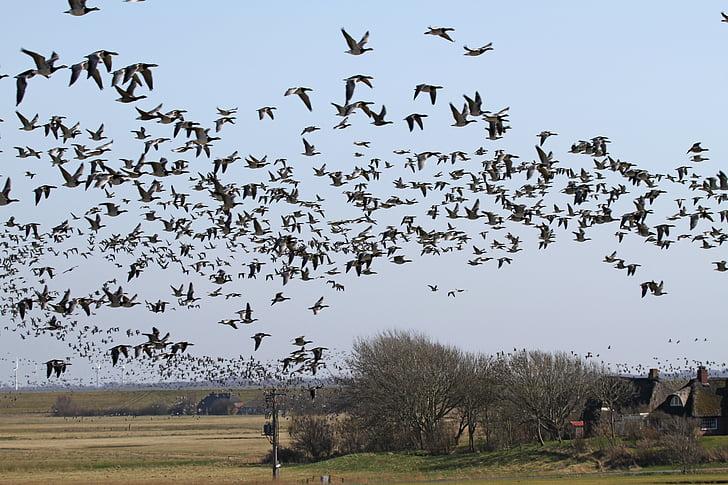 черниця гусей, Гуси, westerhever, nordfriesland, птах, летять, Природа