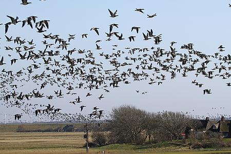 монахиня гъски, гъски, westerhever, nordfriesland, птица, стадо от птици, природата