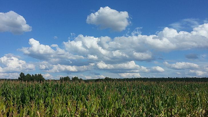 cornfield, corn, agriculture, field, clouds, sky, summer