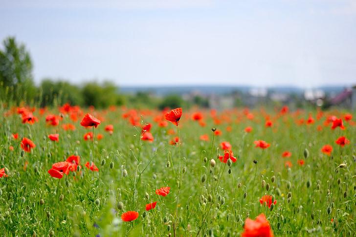 Mack, cvetje, poleti cvetovi, narave, cvet, čudovito, cvetje na področju