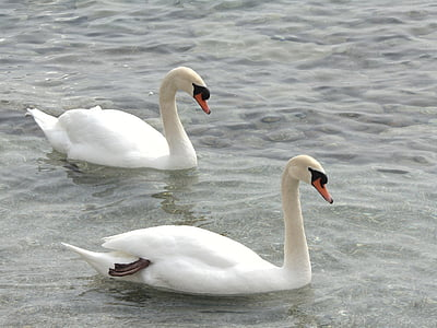 swans, animals, lake, white, wildlife, swan, birds