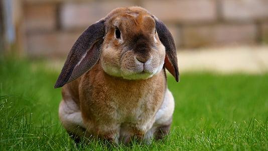 conill, jardí, conill, primavera, verd, herba, valent