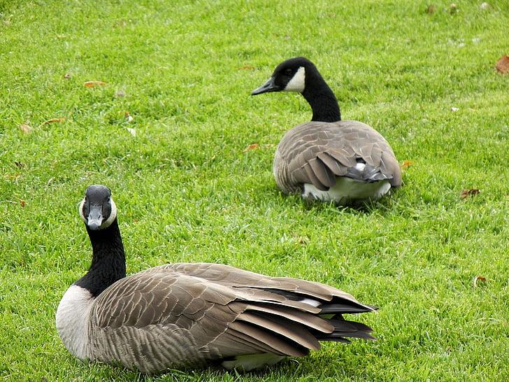 Канада гъски, двойка, птици, водолюбивите птици, Канада