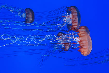 dieren, kwallen, Oceaan, zee, tentakels, onderwater, water