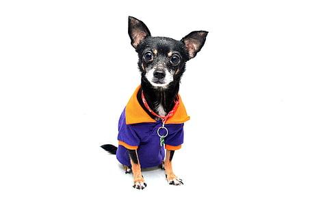 câine, Chihuahua, animale, animal de casă, distractiv, drăguţ, câinele izolat