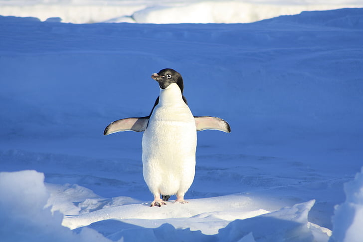 Penguin, morsom, blå, vann, dyr