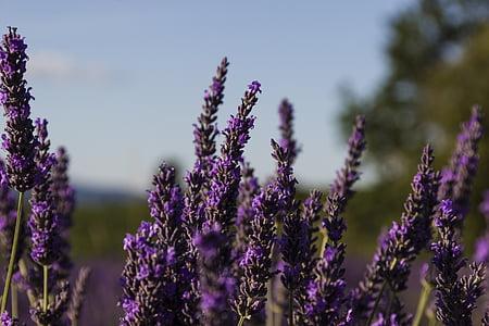 levendula, Provence, Franciaország, virágok, lila, lila