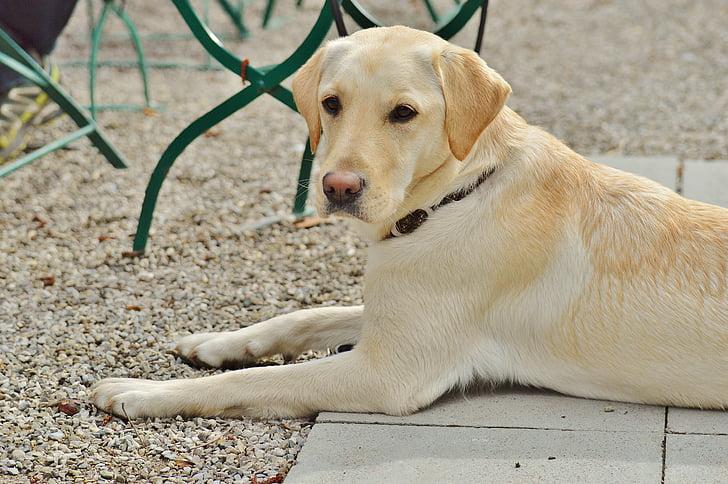 Labrador, cane, dolce, preoccupazioni, animale, animale domestico, caro