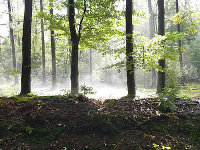 forest, trees, sun, sunlight, patch fog, nature, tree