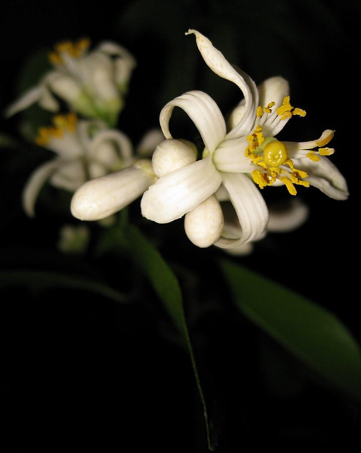 primeres flors, llimona, Myer, fruita, arbre, tropical, flor