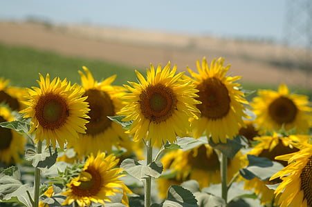 sunflowers, sunflower, campaign, nature, yellow, agriculture, summer