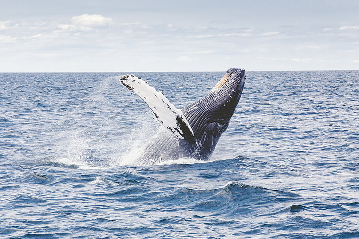 humpback, whale, marine, mammal, animal, sea, breach