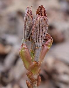 japanese chestnut leaves opening, chestnut, leaves, shrub, spring, nature, plant