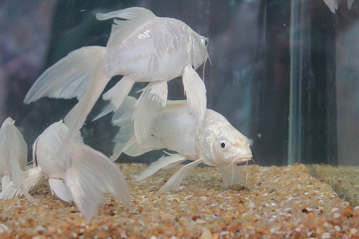 Рыба, Белый, плавники, рыбы цистерны, Аквариум