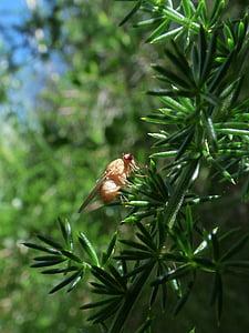 mosca de la fruita, Ceratitis capitata, dípters