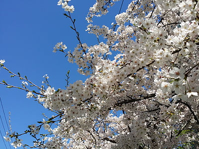 flor del cirerer, cirerer, primavera, flors de primavera, Sakura, cel blau