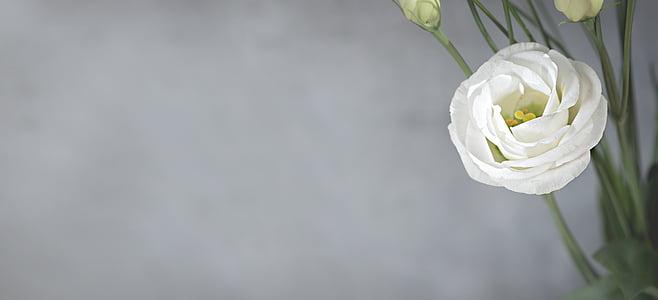 Lisianthus, bloem, Blossom, Bloom, wit, witte bloem, bloemblaadjes