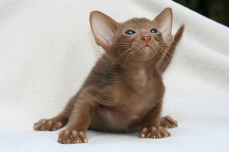 cat, curious, kitten, cat baby, oriental shorthair, fur, charming