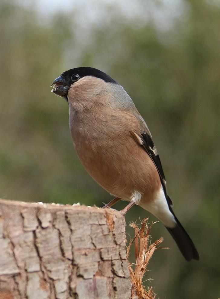 zimovka, Muški, ptica, priroda, Finch, proljeće, ptičje