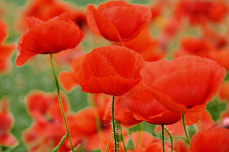 poppy, nature, meadow flower, red, flower, plant, summer