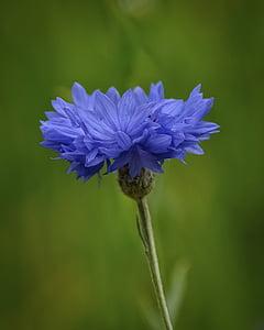 virág, kék, természet, gyönyörű, virágos, növény, természetes
