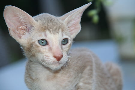 cat, kitten, cat baby, oriental shorthair, fur, charming, animal