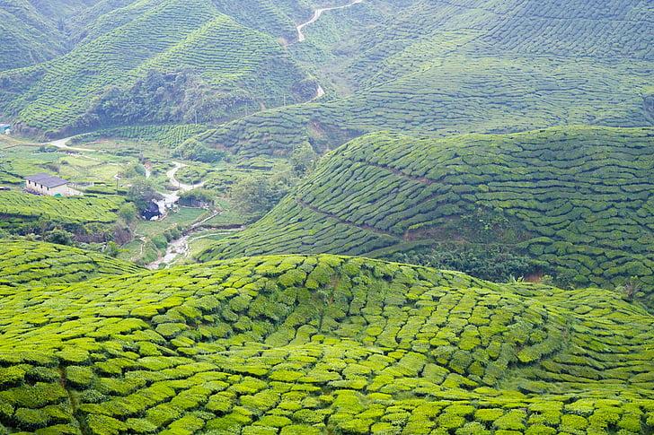 tea, cameron highland, malaysia, nature, travel